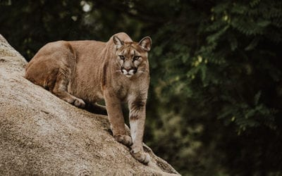 Surviving a Mountain Lion Attack: What you need to know