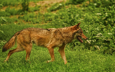 How To Survive A Coyote Attack While Hiking