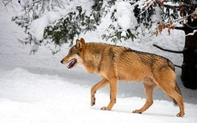 How to Survive a Wolf Attack | All You Need to Know